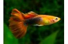 ოქროს თევზი