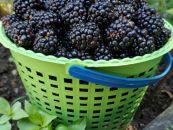 მაყვალი! Blackberry! ეკოლოგიურად სუფთა! ბიო მეურნეობიდან!