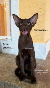 ორიენტალური ჯიშის კატა oriental cat кошки котята