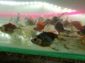 ცივი წყლის თევზები ( ვუალეხვოსტი )