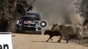 უცნაური შემთხვევა: ძროხები რალიზე და მრბოლელის შესანიშნავი რეაქცია (ვიდეო)